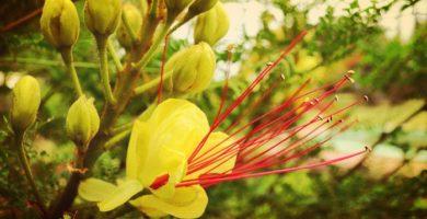 Barba De Chivo - Un Bello Arbusto De Jardin Muy Resistente