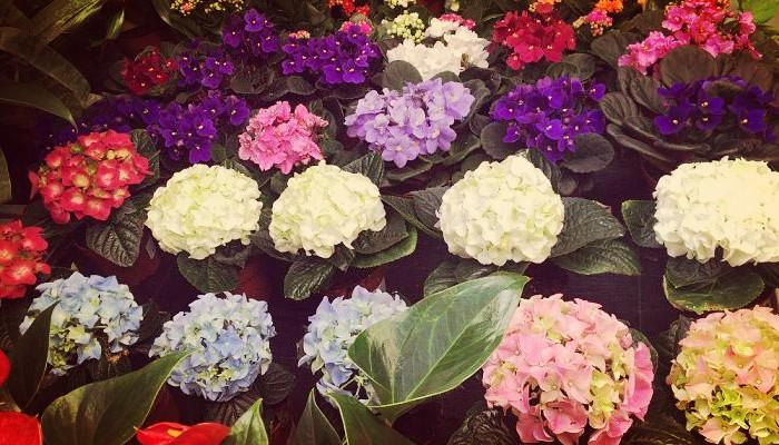Como Cambiar Color De Hortensias Con sencillos Trucos De Jardinería