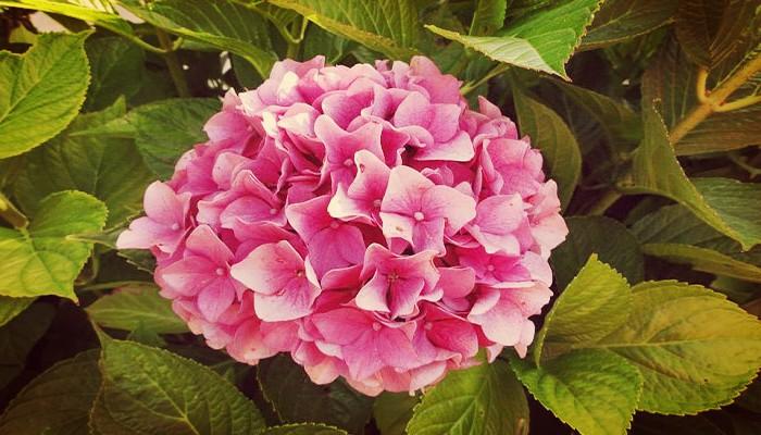 Como Cuidar Hortensias De Jardin Con La Sencilla Guia Del Jardinero