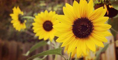 Girasol De Jardín Una Bella Flor Para exteriores De Fácil Cultivo