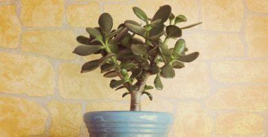 Conoce Todo Sobre La Planta Jade Cuidados, Y Su Significado Especial