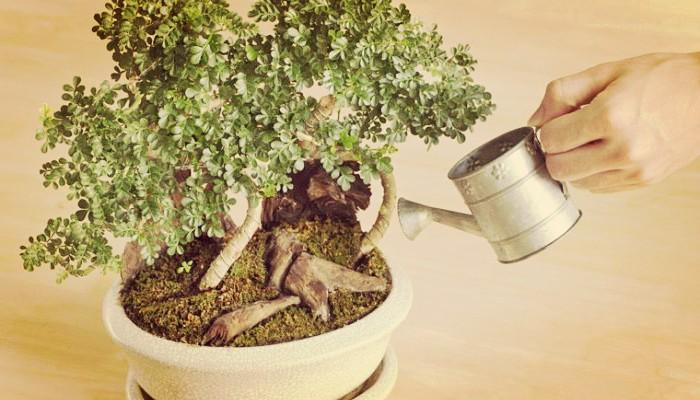 Cuidados Básicos De Las Plantas Bonsái | Guía Para Principiantes!