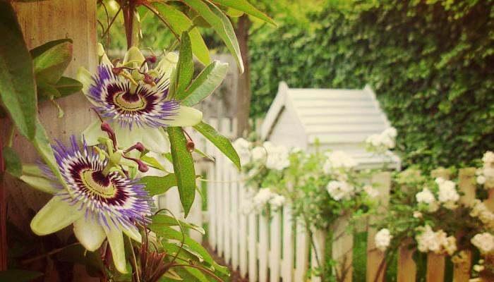 Variadas Plantas Trepadoras Para Adornar Tus Muros, Pergolas Y Balcones