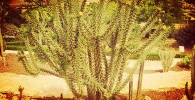 Alfileres De Eva La Mejor Opción En Cactus Para Tener En El Hogar