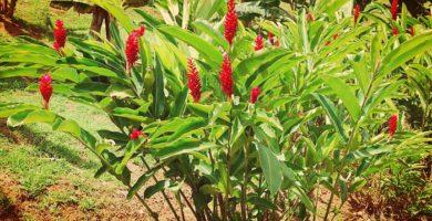 Alpinia Roja Una Hermosa Planta Ornamental Para Jardin