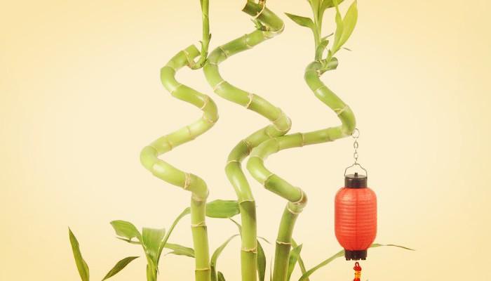 Aprende Como Cultivar Tu Propio Bambu Enrulado ¡Facil Y Rapido!