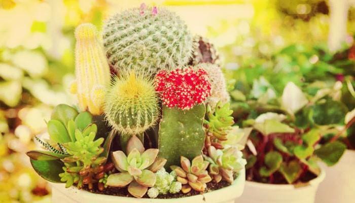 Como Cuidar Un Cactus De Jardín Con Sencilla Guía