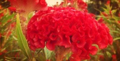 Como Cuidar Una Cresta De Gallo Una Bella Planta Floral Para Jardines