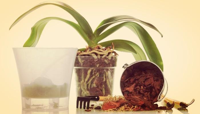 Te Explicamos Como Podar Orquídeas Correctamente En 6 Pasos