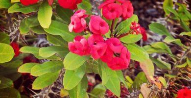 Conoce La Corona De Cristo Una Planta De Jardín Indestructible