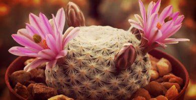 Mammillaria Un Bello Cactus De Jardín ¡Perfecto Para Decorar!