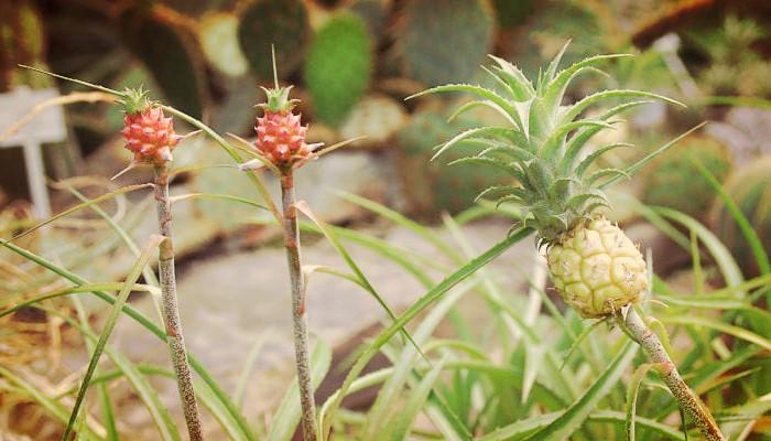 """Como Cuidar Una Piña De Jardin """"Bella Planta Ornamental"""""""