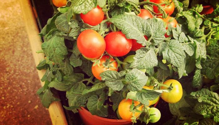 Como Sembrar Plantas De Tomate | Ten Este Fruto En Tu Propio Huerto!