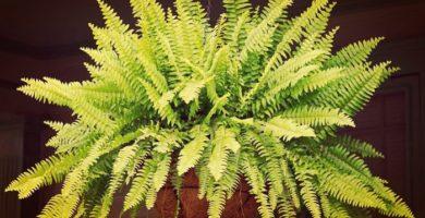 Como Cuidar Las Plantas Helechos Para Que Crezcan Frondosos Y Bellos!
