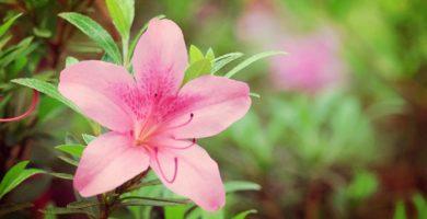 Azaleas De Jardin Una Bella Planta Floral Que No Debes Ignorar