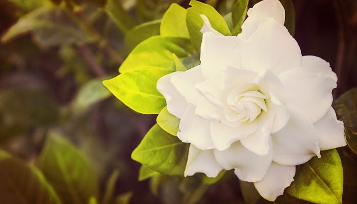 Como Cuidar Gardenias De Jardín Con Sencillos Trucos Fáciles