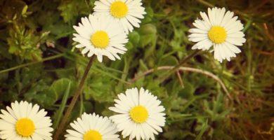 Aprende A Cultivar Tus Propias Margaritas De Jardín Con Sencillos Trucos