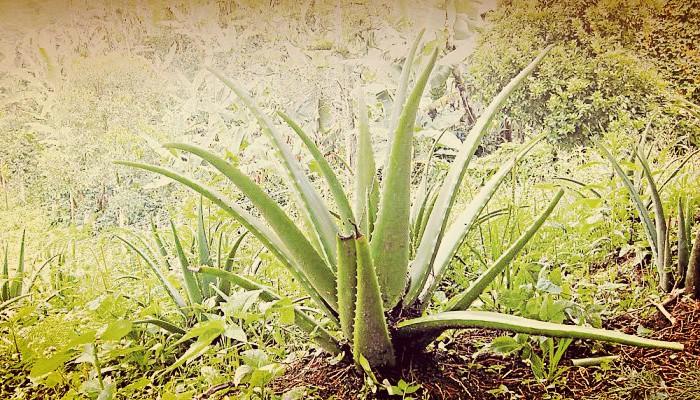 Como Cuidar Una Planta De Sabila Y Aprovechar Sus Propiedades