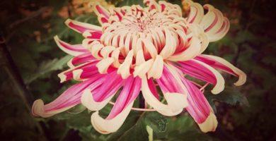 Como Cuidar De Los Crisantemos De Jardín Con Sencillos Trucos