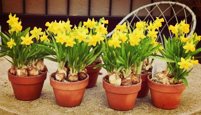 Narciso Enano Una Planta Con Flor Ornamental Única