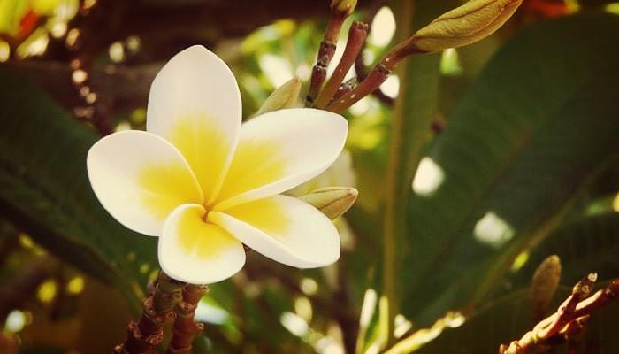 Plumeria De Jardín Una Planta ornamental Única Y De Aroma Exquisito
