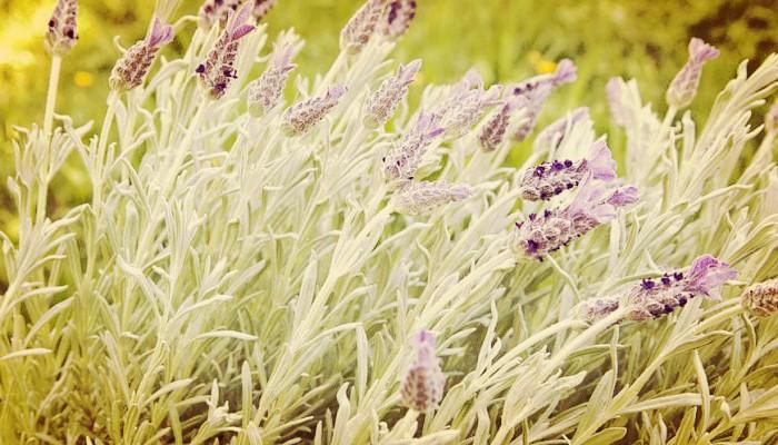 18 Propiedades Medicinales De La Lavanda De Jardin