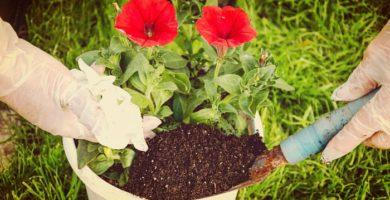 Como Cuidar Petunias De Jardín Con Unos Prácticos Trucos