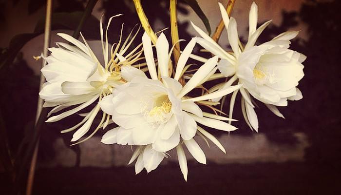 Como Cuidar Una Dama De Noche Y Perfumar Tu Jardin Como Ningun Otro