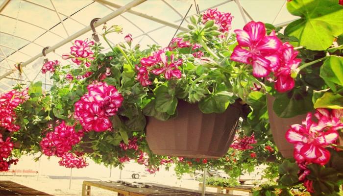 5 Hermosas Flores Colgantes De Exterior Que Debes Tener