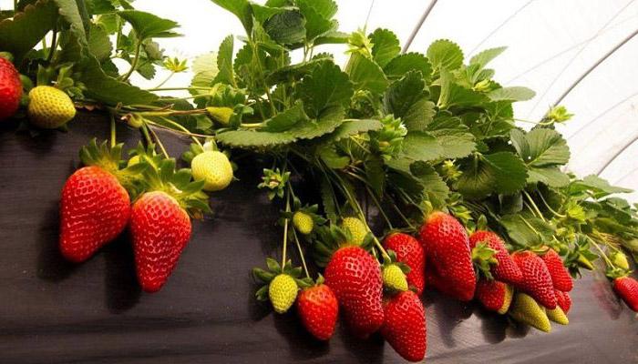 Cuidados Básicos De Las Plantas De Fresa | Fruto Para Tu Huerto O Macetas