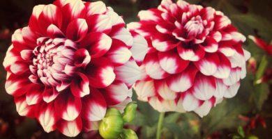 Aprende Como Cuidar Dalias Las Mas Bellas Plantas Ornamentales