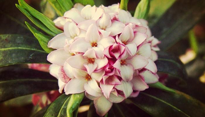 Como Cuidar Daphne Una Planta Floral Y Ornamental Unica