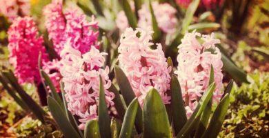 Como Cuidar Jacintos De Jardín Con Sencillos Consejos