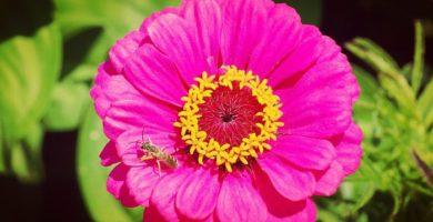 Cuidados Básicos De La Zinnia ¡Aprende Como Cultivar Esta Bella Flor!