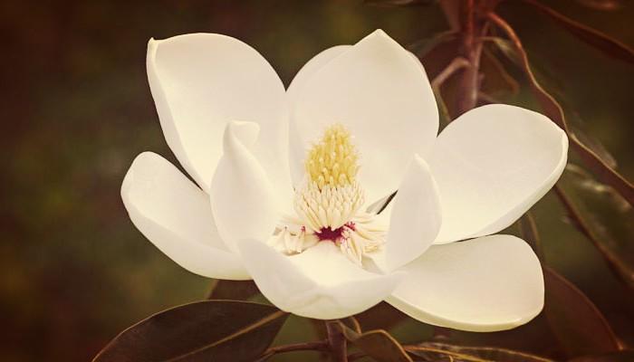 Como Cuidar Magnolias En El Jardín Con Sencillos Trucos De Jardineria