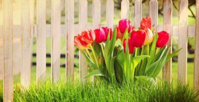 Como Cuidar Los Tulipanes Botánicos Y Embellecer Tu Jardin