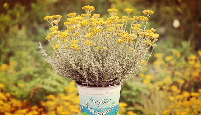 Planta De Curry (Helichrysum thianschanicum) Características Y Cuidados
