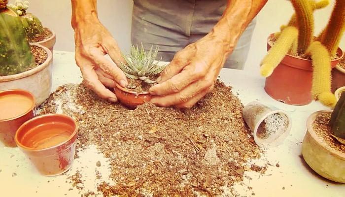 Conoce El Mejor Sustrato Para Cactus Y Suculentas Que Puedes Hacer Desde Casa