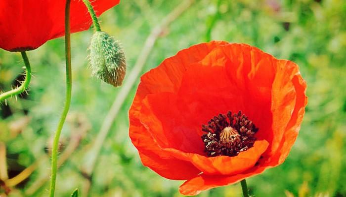 Amapola De Jardín - Una Bella Flor Decorativa Y De Fácil Cuidado