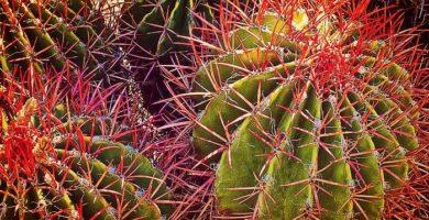 Ferocactus: Descripción, Características, Cultivo Y Cuidados Basicos