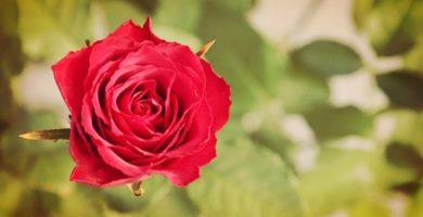 Rosas: Historia, Características, Tipos, Poda y Cuidados varios
