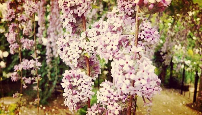 Buddleja Alternifolia (Arbusto Mariposa): Características, Cuidados y Mas
