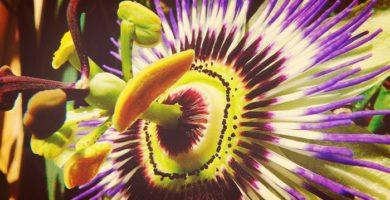 Flor de la Pasion| Propiedades, Tipos, Cuidados, Usos, Toxicidad