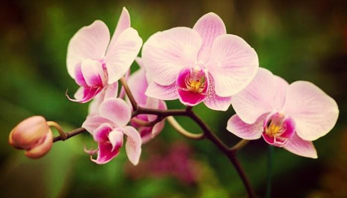Orquídea: Historia, Características, Descripción Y Cuidados
