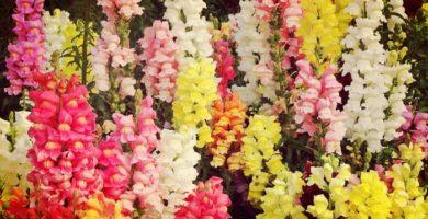 Boca de Dragón: Origen, Beneficios, Propiedades, Usos, Cultivo