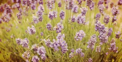 Lavandula angustifolia: Descripción, Características, Cultivo y Mas