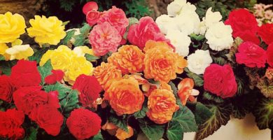 Begonias | Origen, Historia, Características, Usos, Cultivo