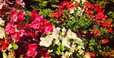 Begonias tuberosas: Características, Origen, Beneficios, Propiedades