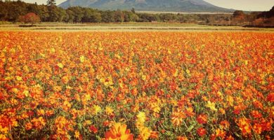 Cosmos Azufrado: Características, Beneficios, Usos, Cultivo