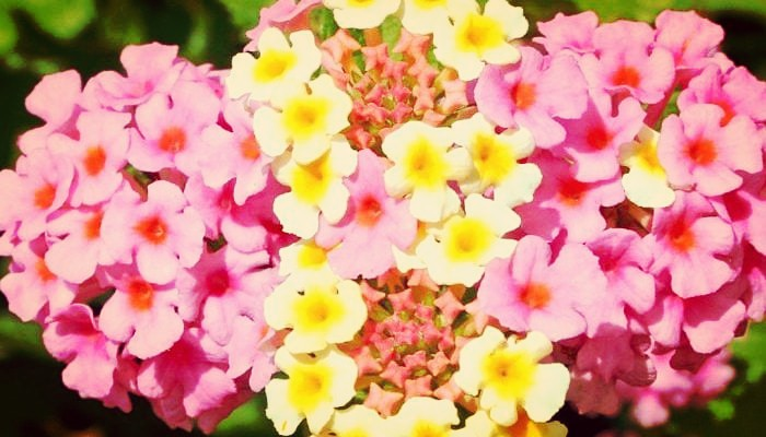 Flor De Duende (Lantana): Características, Beneficios, Propiedades